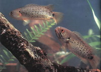 Anabas testudineus, Climbing perch: fisheries, aquaculture, aquarium