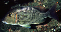 Lethrinus crocineus, Yellowtail emperor: fisheries, gamefish