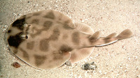Narcine brasiliensis, Brazilian electric ray: fisheries, aquarium