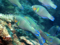 Scarus rivulatus, Rivulated parrotfish: fisheries