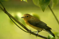Image of: Protonotaria citrea (prothonotary warbler)