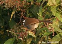 Grey-sided Laughingthrush - Garrulax caerulatus