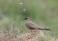 Madagascar Pratincole (Glareola ocularis) photo