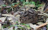 Collared Nightjar (Caprimulgus enarratus) photo