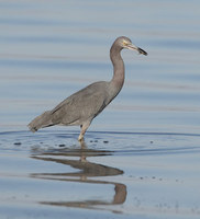 Little Blue Heron (Egretta caerulea) photo