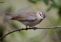 Red-eyed Vireo (Vireo olivaceus) photo