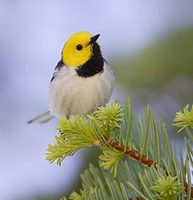 Hermit Warbler (Dendroica occidentalis) photo