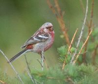 Long-tailed Rosefinch (Uragus sibiricus) photo