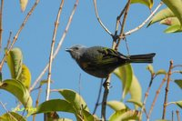 Golden-chevroned Tanager - Thraupis ornata