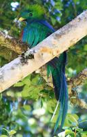 Resplendent Quetzal, thanks Julie, Noel