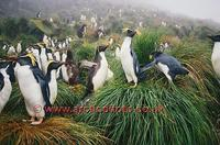 ...FT0129-00: Northern/Long Crested Rockhopper Penguins in tussock. Found on Gough Is & Tristan da