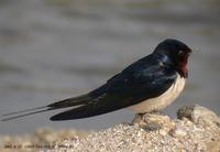 House Swallow(Barn Swallow) Hirundo rustica 제비