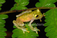 : Hyalinobatrachium valerioi; Reticulated Glass Frog