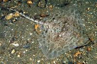 Amblyraja radiata, Thorny skate: fisheries, gamefish