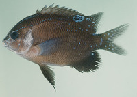 Parma microlepis, White-ear scalyfin: