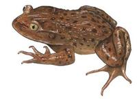 Image of: Caudiverbera caudiverbera (water helmeted toad)