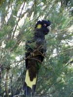Calyptorhynchus funereus - Yellow-tailed Black-Cockatoo