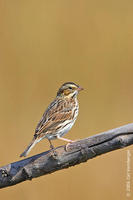 Image of: Passerculus sandwichensis (savannah sparrow)