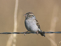 Chipping Sparrow (Spizella passerina) photo