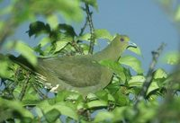 Whistling (Formosan) Green-Pigeon (Treron formosae) photo