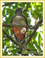 Mountain Trogon - Trogon mexicanus