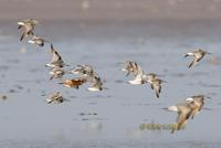 Great knot C20D 03018.jpg