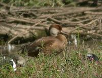 Red-crested Pochard at Venus Pool 2nd September 2005