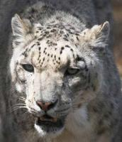 Close-up picture of a snow leopards face