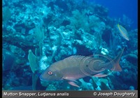 : Lutjanus analis; Mutton Snapper;