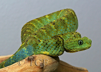 : Atheris squamigera; Green Bush Viper