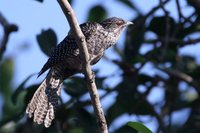 Mangoverde World Bird Guide Photo Page: Asian Koel Eudynamys scolopacea