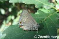 Neozephyrus quercus - Purple Hairstreak