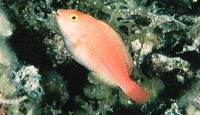 Sparisoma atomarium, Greenblotch parrotfish: aquarium
