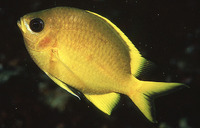 Chromis analis, Yellow chromis: aquarium