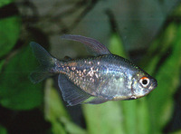 Moenkhausia pittieri, Diamond tetra: aquarium