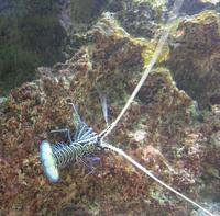 Image of: Panulirus versicolor (painted spiny lobster)