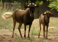 Connochaetes gnou - White-tailed Gnu