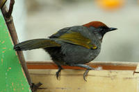 Image of: Garrulax erythrocephalus (chestnut-crowned laughingthrush)