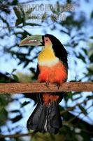 Red breasted Toucan ( Ramphastos dicolorus ) stock photo
