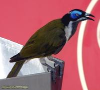 ...Blue-faced Honeyeater, Entomyzon cyanotis (Meliphagidae), sampling toppings at an ice-cream bar,