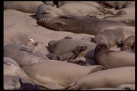 : Mirounga angustirostris; Northern Elephant Seals