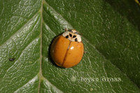 : Harmonia axyridis; Multicolored Asian Lady Beetle