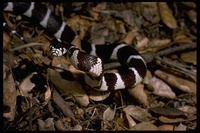 : Lampropeltis getula californiae; California Kingsnake