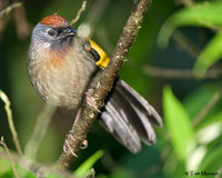 Chestnut-crowned Laughingthrush