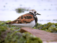 꼬까도요 Arenaria interpres interpres | ruddy turnstone