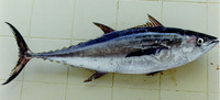 Thunnus tonggol, Longtail tuna: fisheries, gamefish