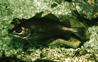 Trisopterus luscus, Pouting: fisheries, aquarium