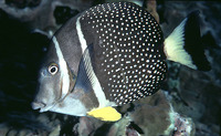 Acanthurus guttatus, Whitespotted surgeonfish: fisheries, aquarium