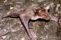 Phyllostomus discolor - Pale Spear-nosed Bat