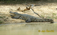 Crocodylus palustris - Marsh Crocodile